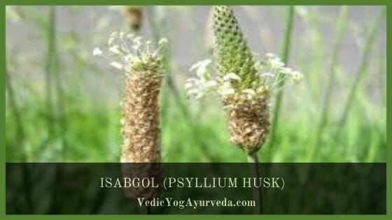 (PSYLLIUM HUSK) ISABGOL BENEFITS, USES & SIDE EFFECTS
